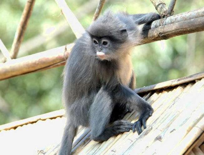 中国猴子种类_中国的高等灵长类东白眉长臂猿 >                    p;《猴子图片