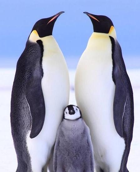 宠物频道 动物图片  企鹅是生活在一些极寒地带,大多数都分布在南半球
