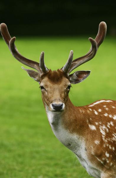 宠物频道 动物图片   梅花鹿是一种非常可爱又迷人的哺乳动物,身上有