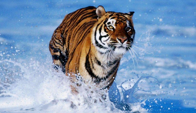 老虎图片_狮子图片_大象图片_东北虎 -动物图片