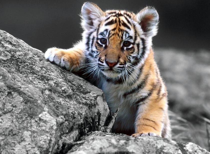 好可爱的小老虎