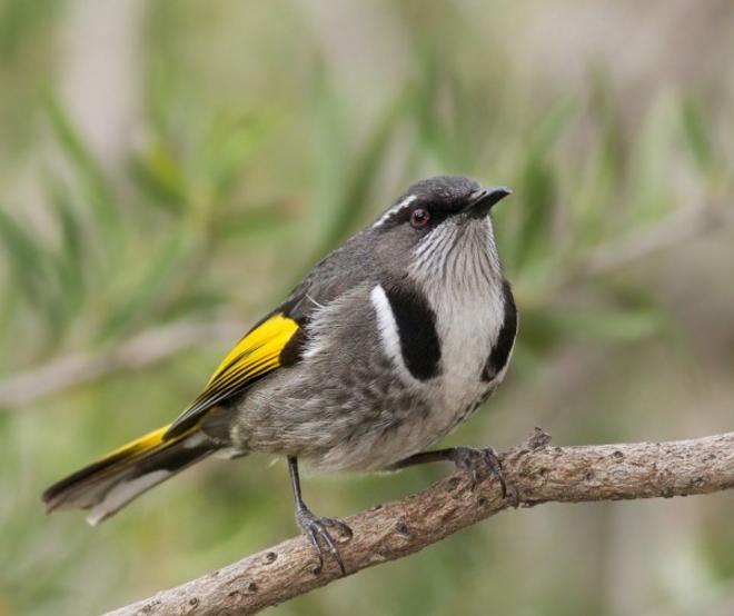 黄莺图片 -动物图片