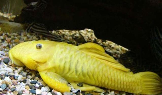 动物图片  清道夫鱼长得不是特别喜人,全身有黑灰色相间的花纹,从腹部