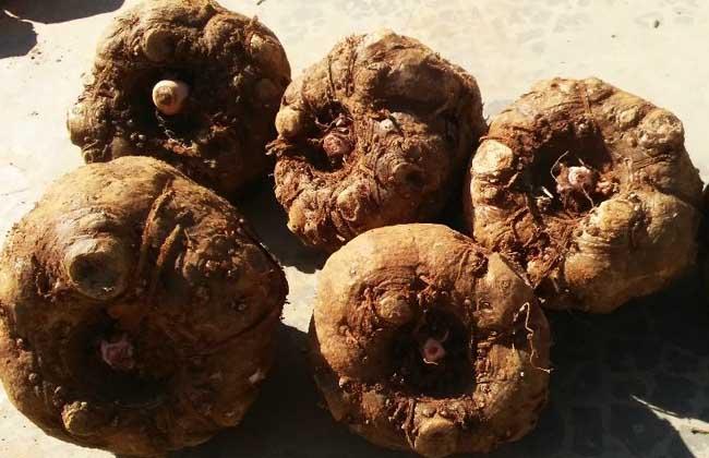 魔芋种子_魔芋种子价格及种植方法