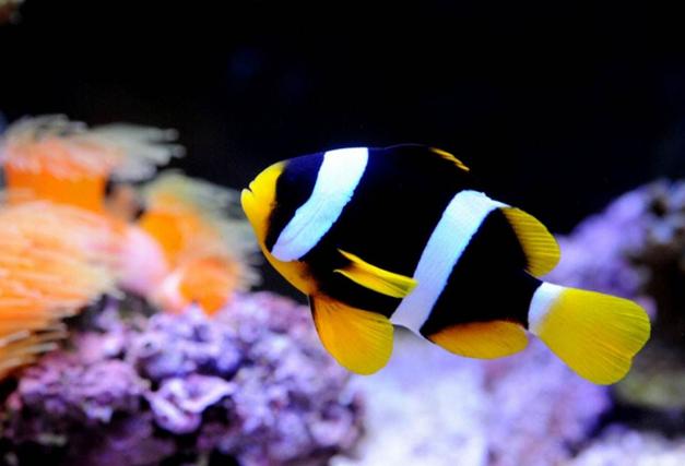 海水观赏鱼图片 (5)-动物图片