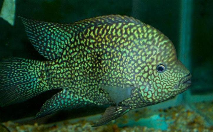 淡水鱼的种类图片(2)