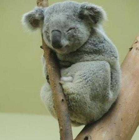 宠物频道 动物图片  树袋熊又名考拉,是澳大利亚的特有种有袋类动物