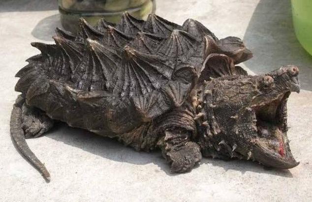 接下来就由小编给大家带来世界最大的淡水龟之一鳄鱼龟图片大全,一