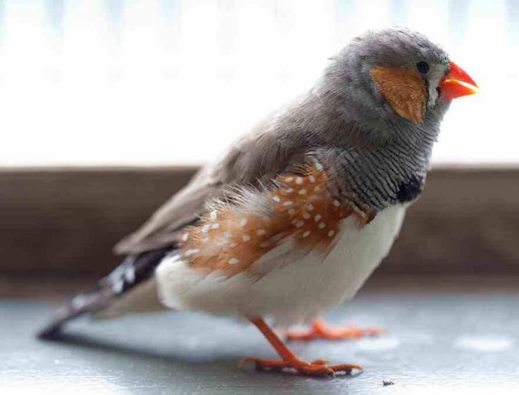 宠物频道 动物图片   珍珠鸟是一种很好看的鸟类,目前有骆驼色,白色