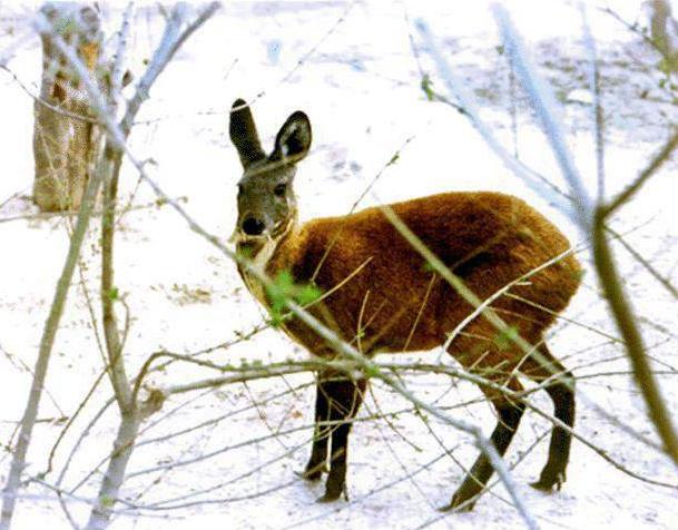 獐子图片 -动物图片