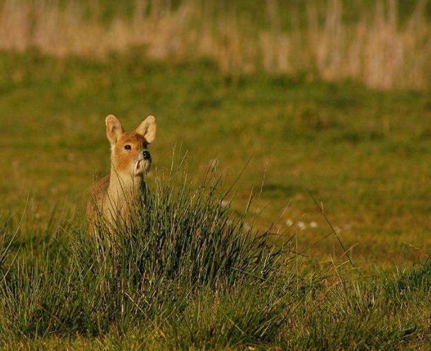 獐子图片 (3)-动物图片