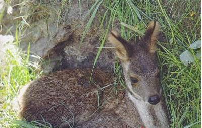獐子图片 (5)-动物图片