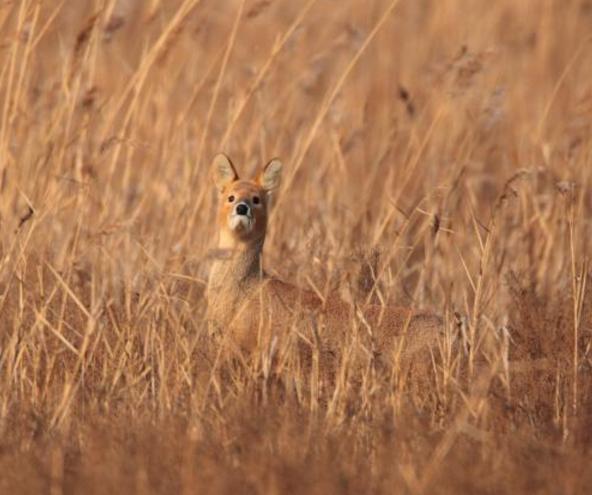 獐子图片 (7)-动物图片