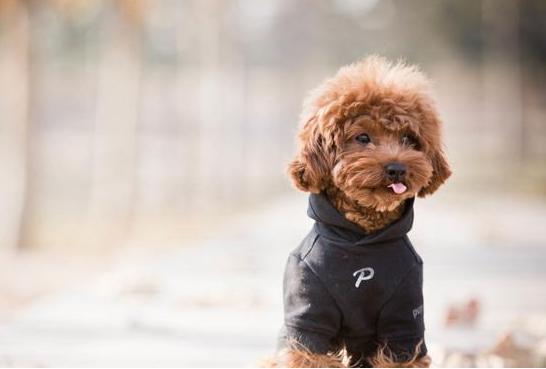 贵宾犬造型图片 (5)-动物图片