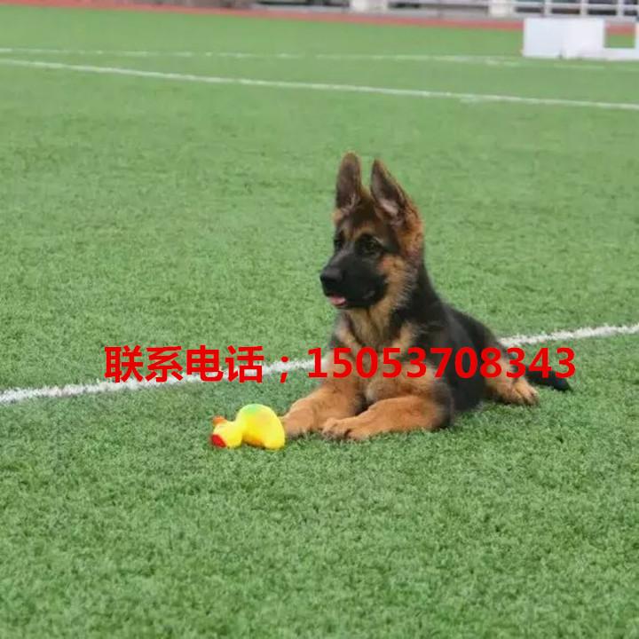 巴音郭楞什么地方有卖德牧的德牧幼犬价格