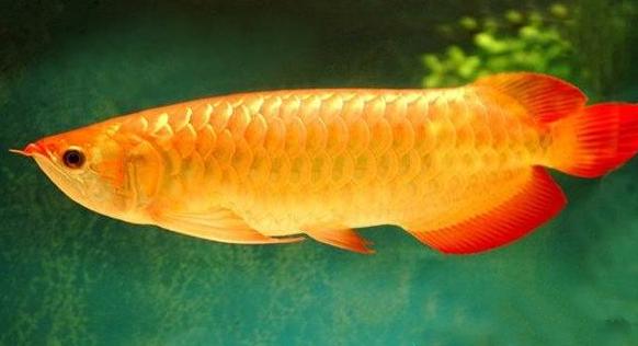 宠物鱼图片 -动物图片