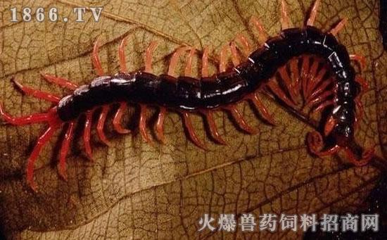 疯狂动物园蜈蚣