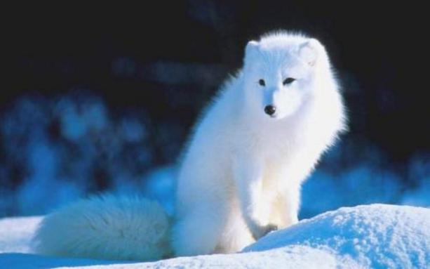 白狐狸是一种犬科动物,以肉食为主,喜欢栖息在洞穴里,活跃于森林