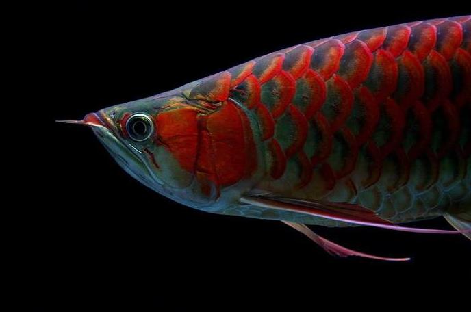 红龙鱼图片 -动物图片