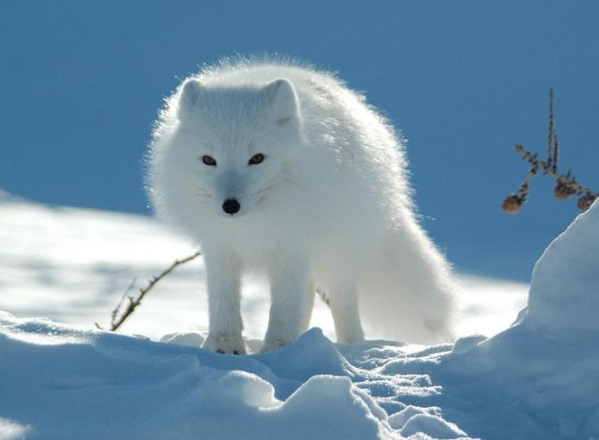 白狐狸图片 -动物图片