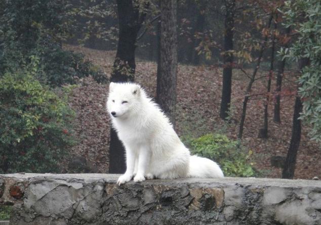 白狐狸图片 (2)-动物图片