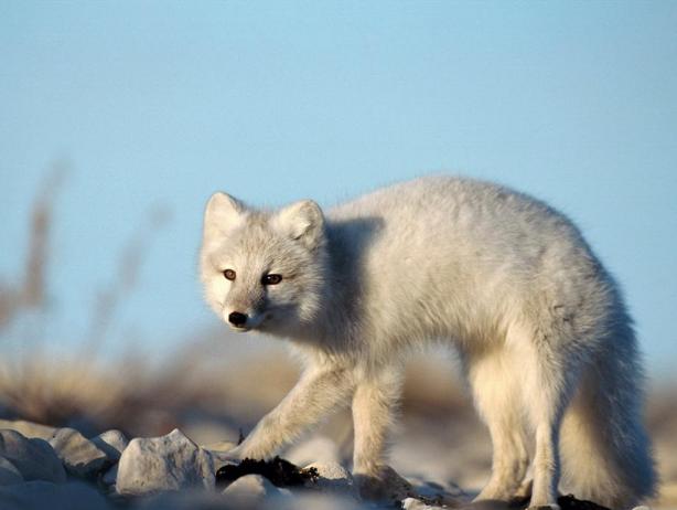 白狐狸图片 (3)-动物图片