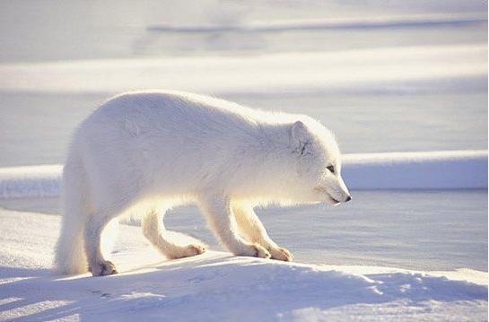 白狐狸图片 (4)-动物图片