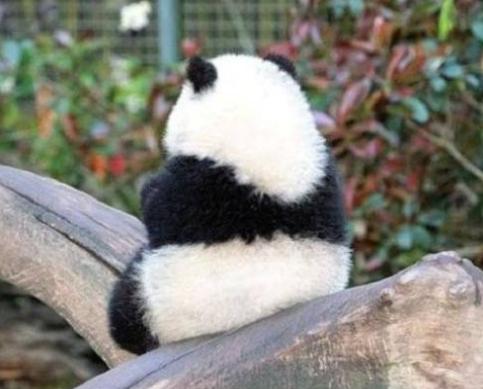 宠物频道 动物图片   熊猫是中国特有的稀有动物,主要分布在四川,陕西
