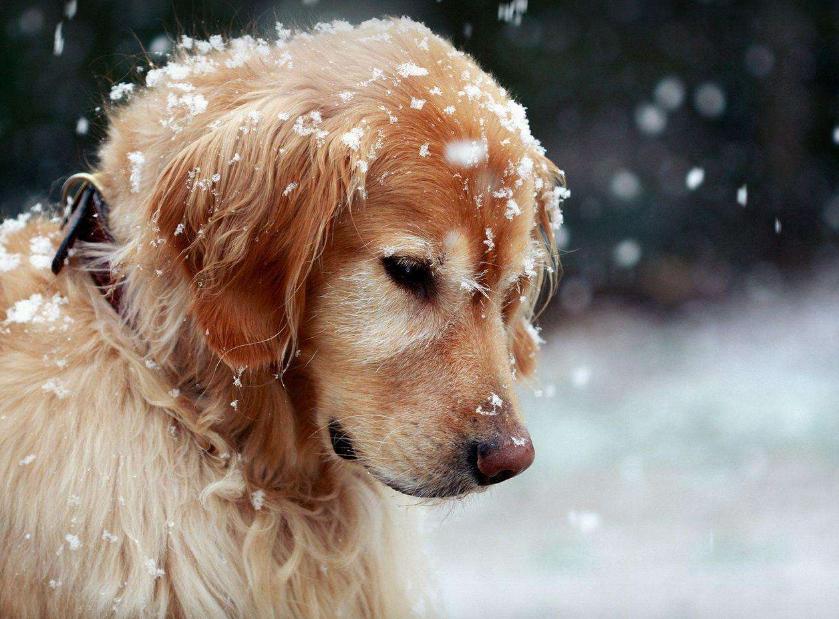 下面我们来欣赏金毛狗狗图片,看看这只可爱的金毛犬.