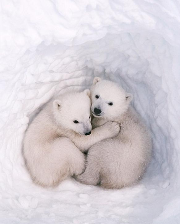 宠物频道 动物图片   我们都是到北极熊是生活在寒冷的北极,而小北极