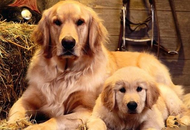 动物图片   金毛犬的智商比较高,在世界犬种排名第四名,金毛犬对小孩