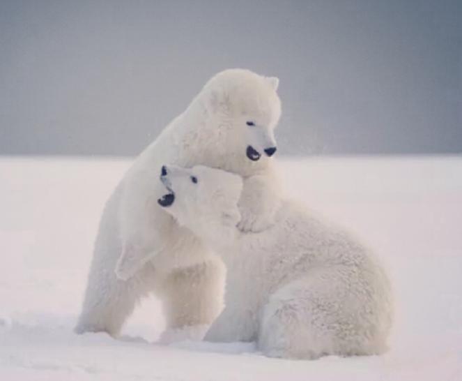 整个看起来小巧可爱,下面就分享一下小北极熊图片,一起来看看吧.