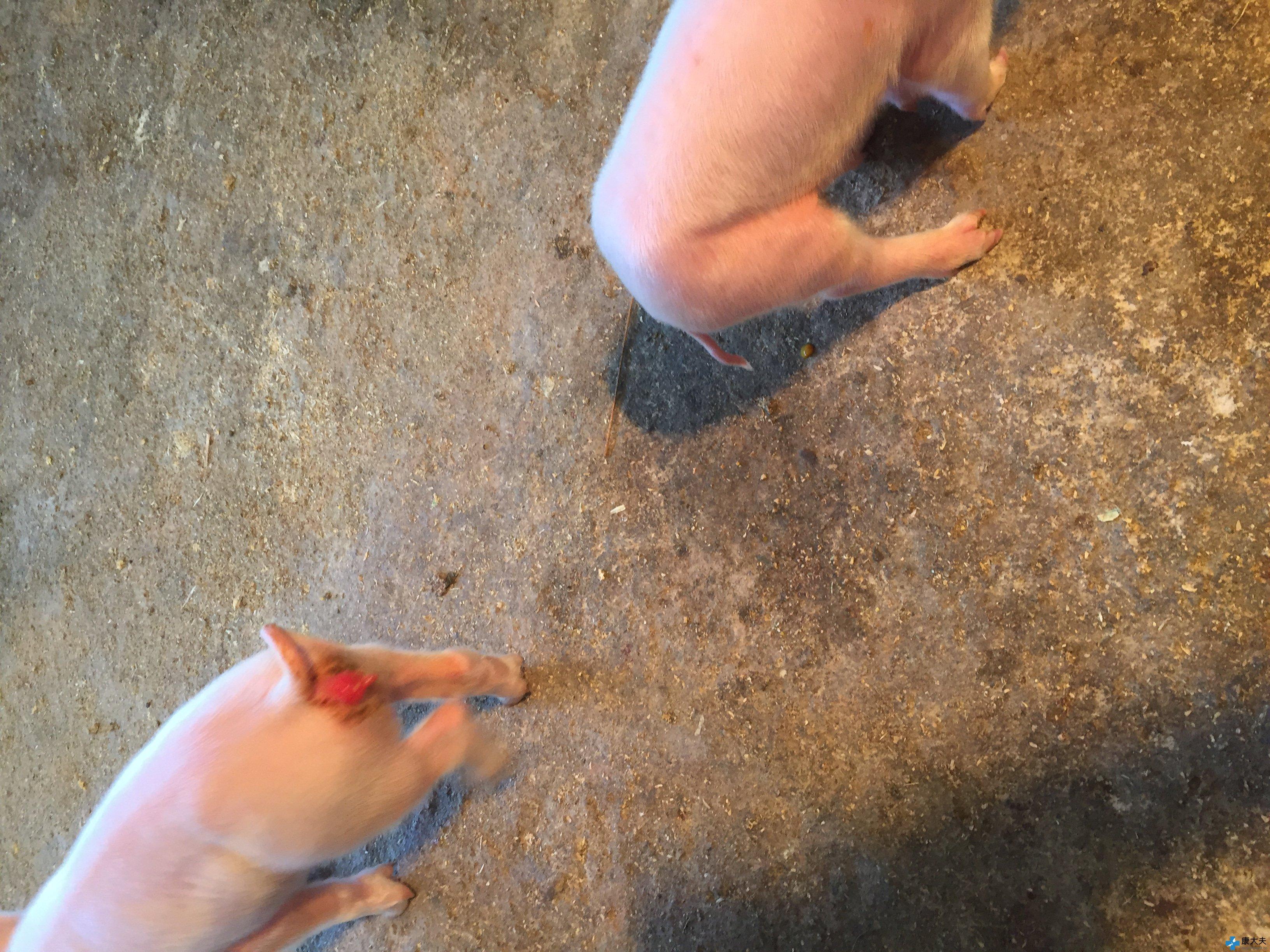 小猪刚出生2天,外阴红肿