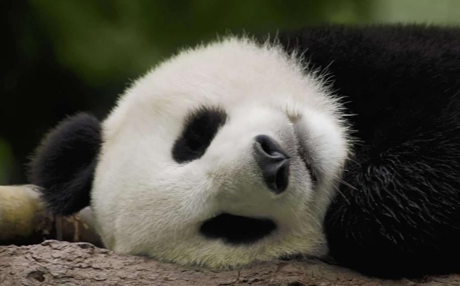 宠物频道 动物图片   熊猫真的是这个世界上最可爱,最会卖萌的动物了