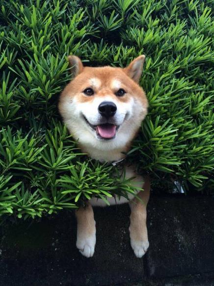 秋田犬图片_皮卡堂秋田犬图片_柴犬_秋田犬可爱图片