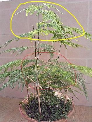 解不同时期文竹的修剪方法