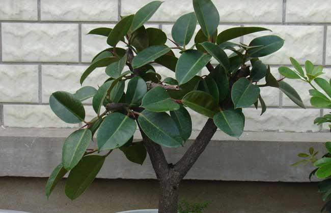 尤其是新装修的房子,养殖橡皮树能有效的吸收挥发性的甲醛.