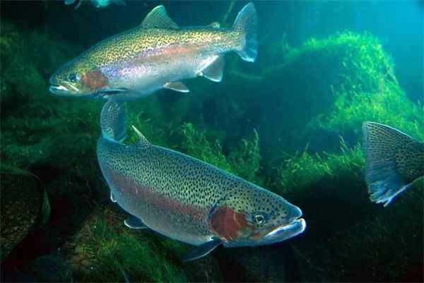 底栖动物,水生昆虫为主;成鱼以鱼类,甲壳类,贝类及陆生和水生昆虫为食