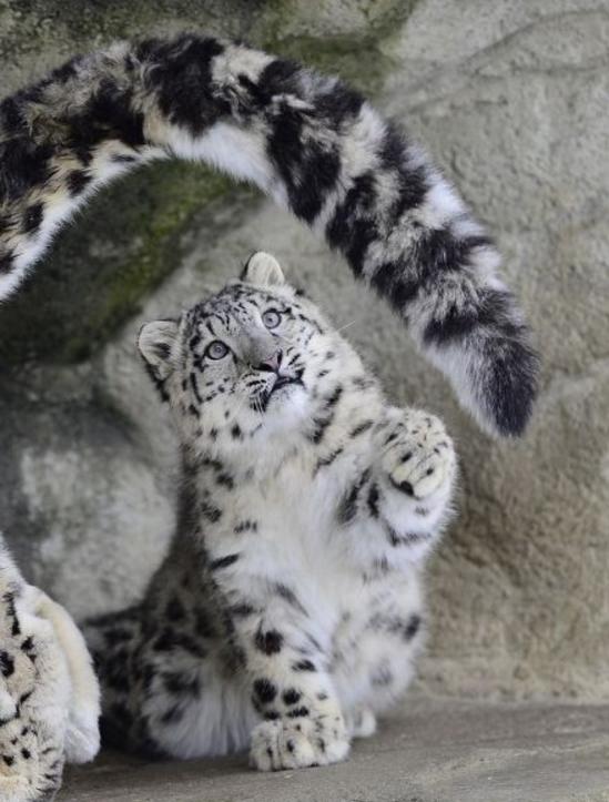 宠物频道 动物图片  云豹是一种数量稀少的动物,虽然叫做云豹,但是并