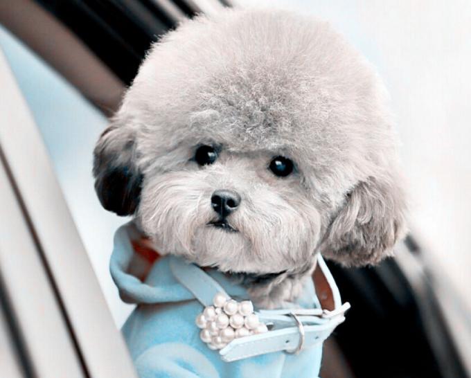 贵妇犬图片