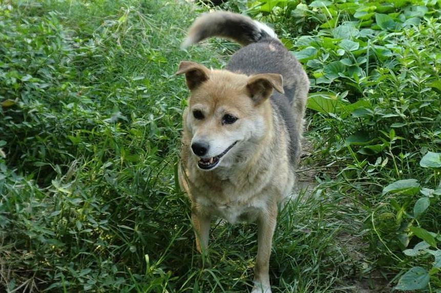 中华田园犬图片 -动物图片