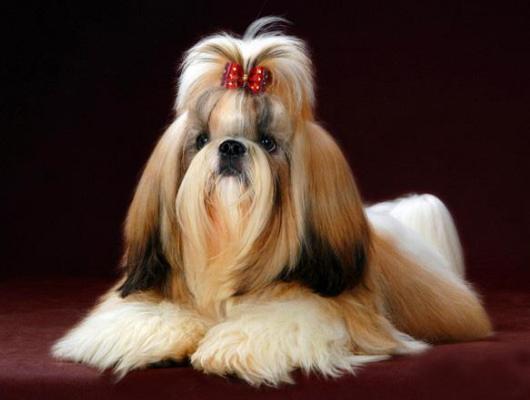 下面要给大家带来西施犬图片大全,一起来看看可爱的它吧!