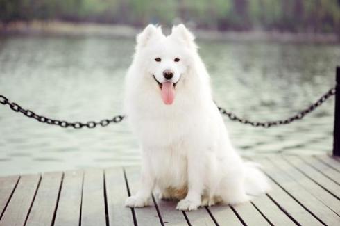 萨摩犬图片 -动物图片
