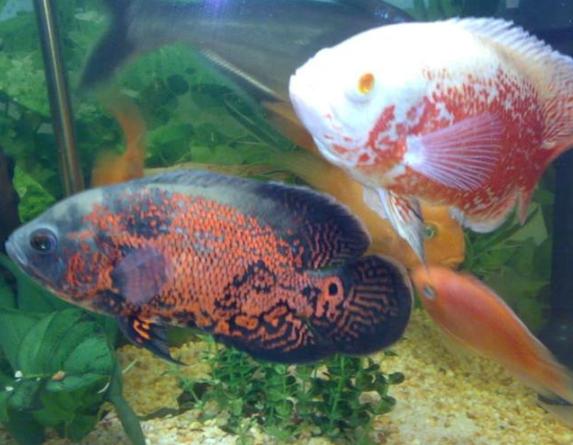 宠物频道 动物图片  地图鱼因为身体表面的花纹是没有规则的,看起来
