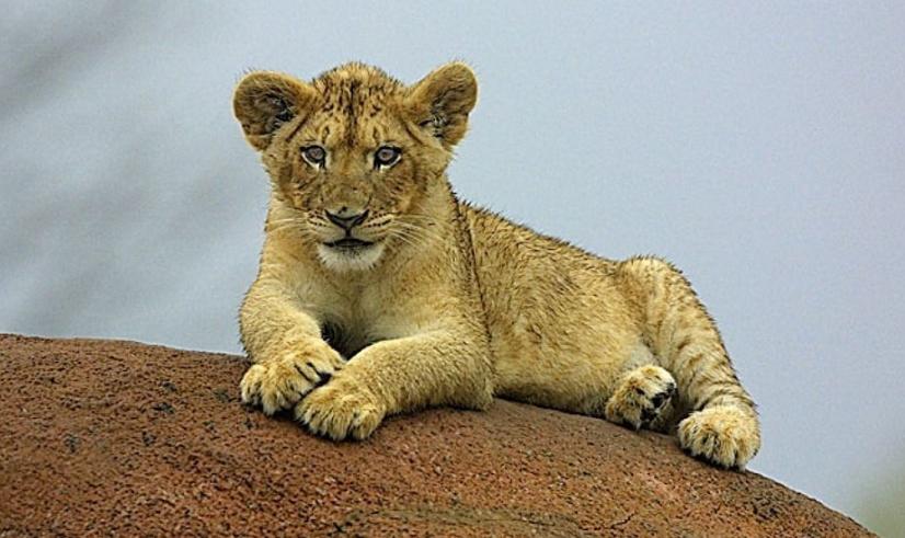 小狮子图片_小狮子爱尔莎课件图片_小狮子照哈哈镜_小