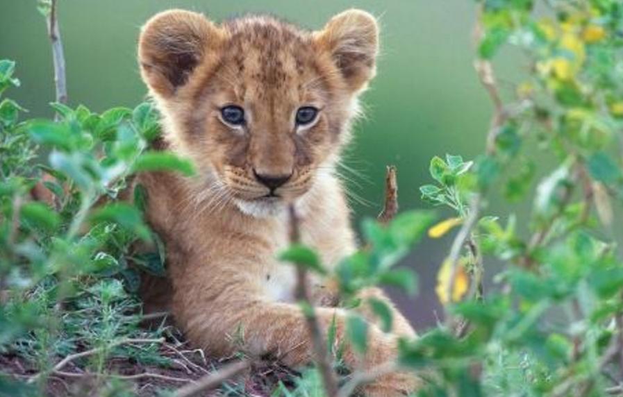 下面我们来欣赏可爱的小狮子图片,看看这小狮子是不是很可爱.