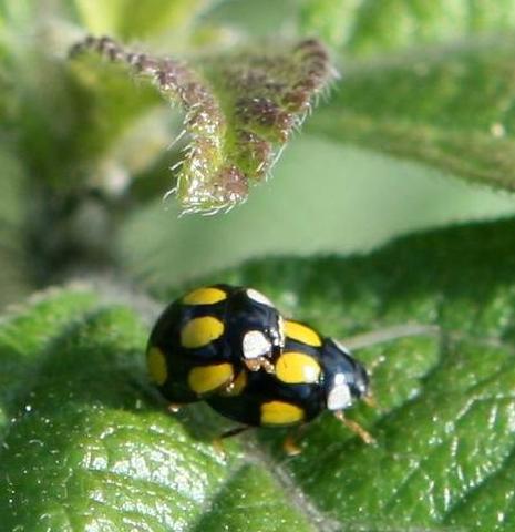 瓢虫也很多种类,也有分益虫和害虫,下面小编就一并带来各个品种的瓢虫
