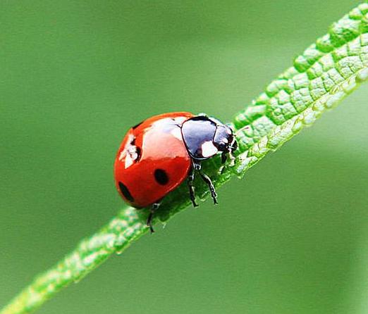 瓢虫图片_瓢虫图片简笔画彩图_二十八星瓢虫图片_橡皮