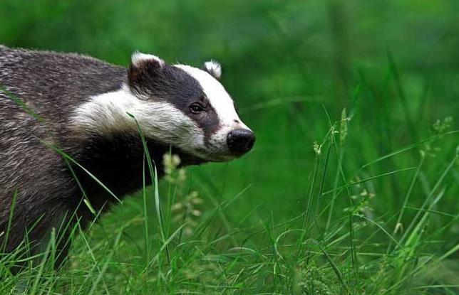 动物图片  狗獾因为鼻子和狗的鼻子长得很相像,又属于鼬科动物,所以得