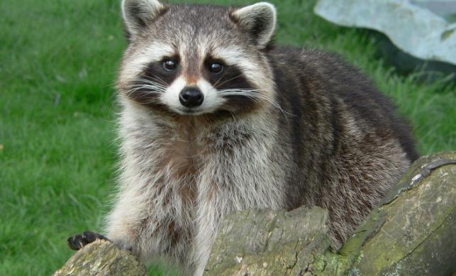 动物图片  小浣熊是一种非常可爱呆萌的小型动物,但是又跟猴子一样机